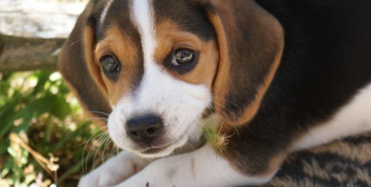Chiot Beagle de FACE
